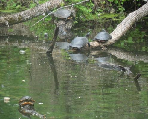 huge turtles