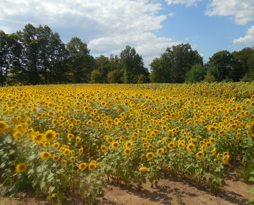 Sunflowers at Duke Farms