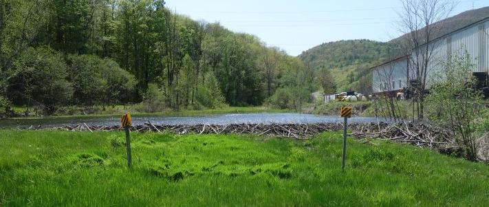 Beaver dam across Catskill Scenic Trail