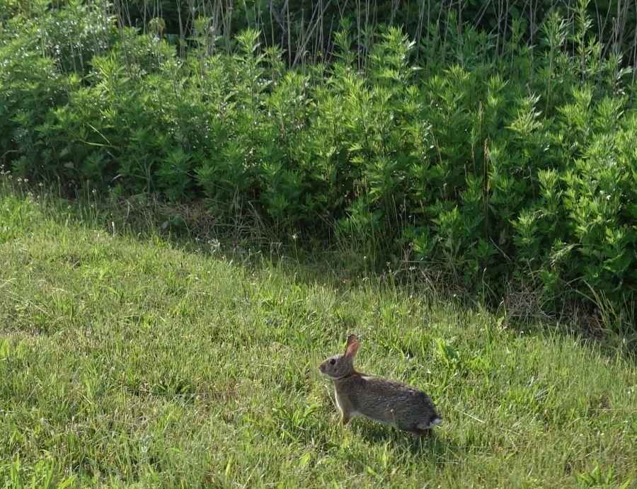 Rabbit along trail